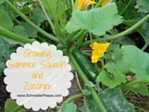 SchneiderPeeps - Growing Summer Squash and Zucchini