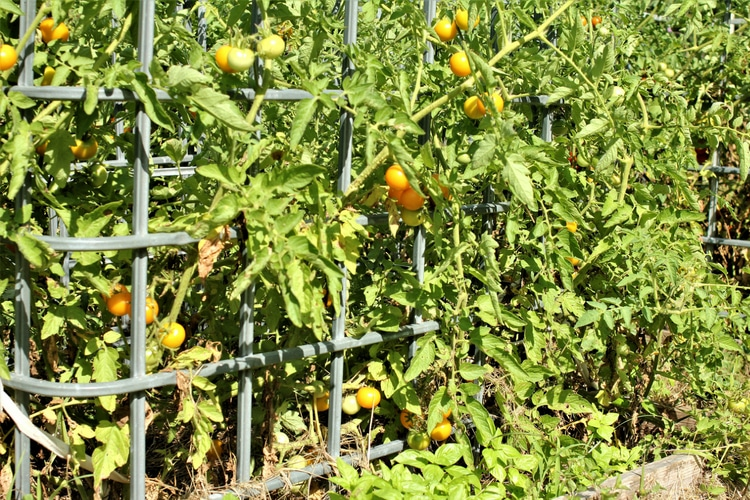 photo of large yellow tomato plant in cages