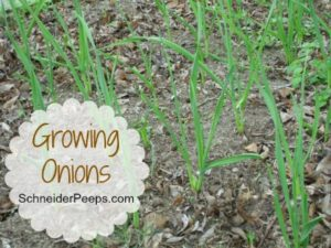 SchneiderPeeps: Growing Onions