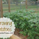 SchneiderPeeps: Growing Potatoes