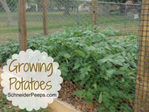 SchneiderPeeps: Growing Potatoes