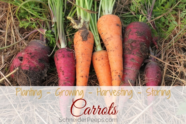 image of homegrown orange and red carrot varieties freshly harvested