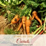 Growing carrots can sometimes be tricky but they are well worth the effort! Learn now to grow and use homegrown carrots - both the root and the tops.