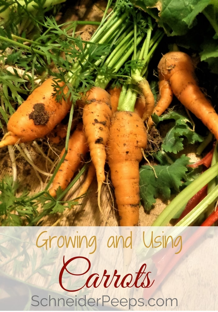 Growing carrots can sometimes be tricky but they are well worth the effort! Learn how to effectively grow carrots with these tips. Also learn how to use homegrown carrots - both the root and the tops.