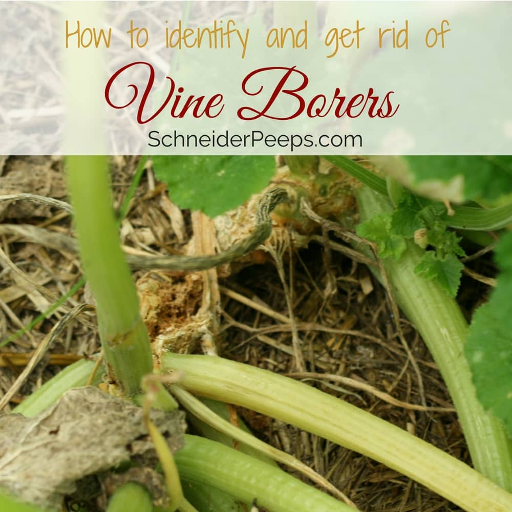 If you go out to your garden and the squash that has been doing just fine, is suddenly wilted, you probably have vine borers.Learn how to identify and prevent them.