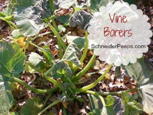 SchneiderPeeps - Vine Borers can cause serious damage your squash plants. If one day the plants are just fine and the next day they are wilted you probably have vine borers. Learn how to organically take care of them.