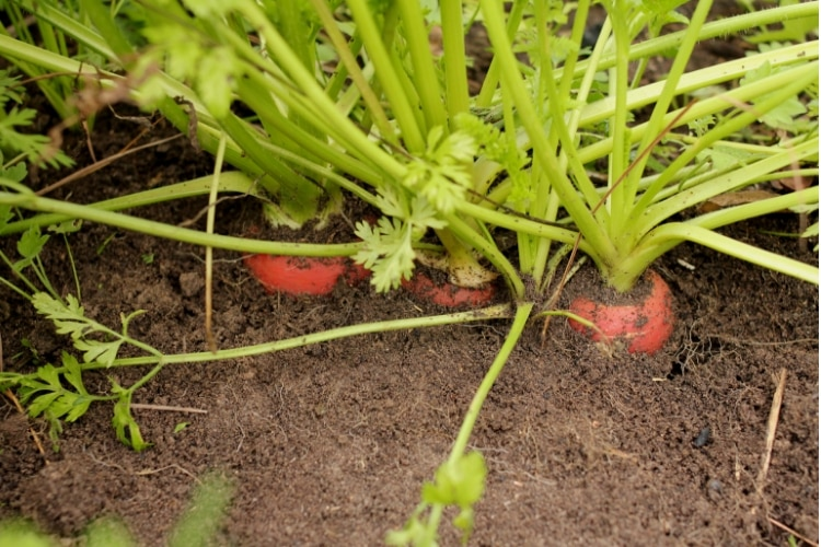 image of growing three orange carrots
