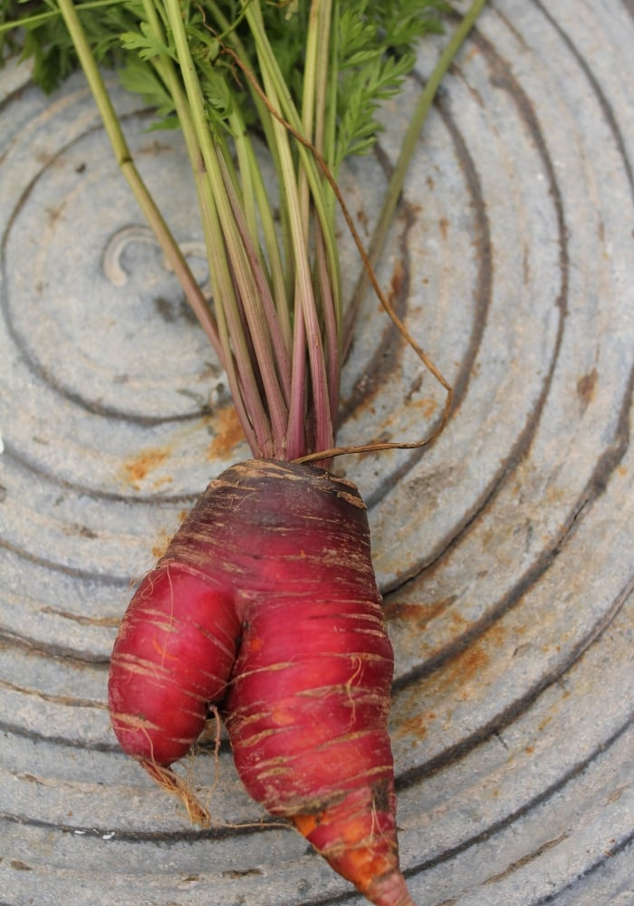 image of misshaped red carrot