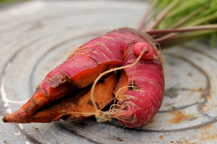 image of red carrot that split from overwatering