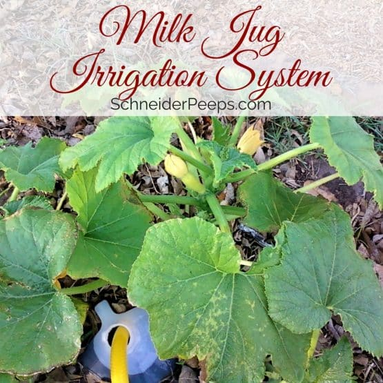 Milk Jug Irrigation is a great way to make sure that your garden gets watered deeply during the summer.