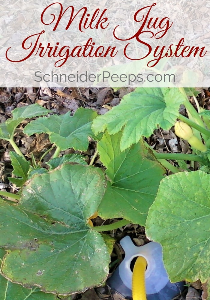 image of diy irrigation with milk just and water hose surrounded by squash