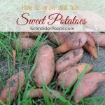 Growing and Using Sweet Potatoes