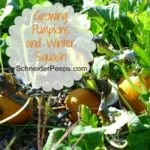 SchneiderPeeps - Growing Pumpkins and winter squash is a fun way to have both fall decorations and food. Learn how organically grow these fall favorites.