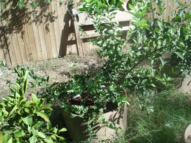 SchneiderPeeps: Blueberry bush