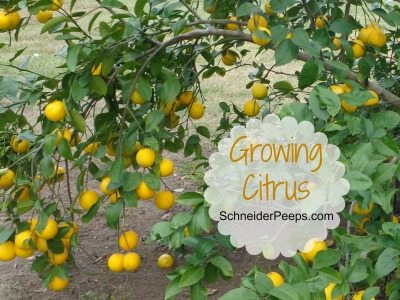 SchneiderPeeps: Growing Citrus