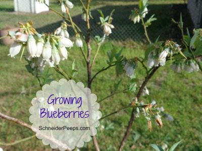 In the garden    blueberries | SchneiderPeeps