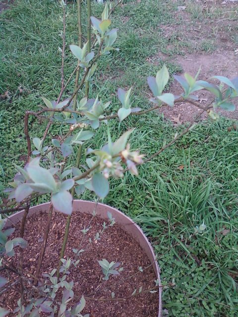 small blueberry plant