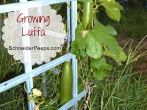 SchneiderPeeps - Growing Luffa is a really easy and fun thing to do. Luffa? Yeah, those sponges that are in the bath section at the store are actually a plant. Learn how to grow them organically.