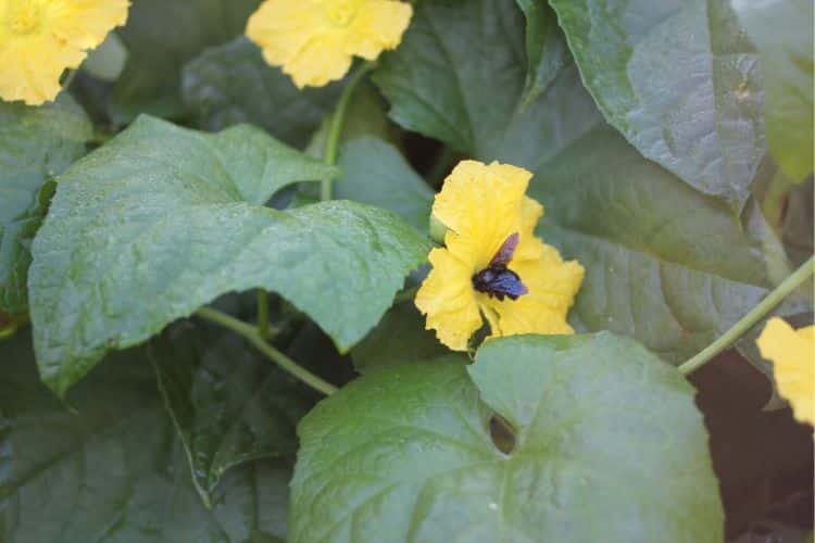 yellow loofah flowers with a bumble bee collecting pollen