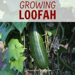 image of green luffa growing on vine