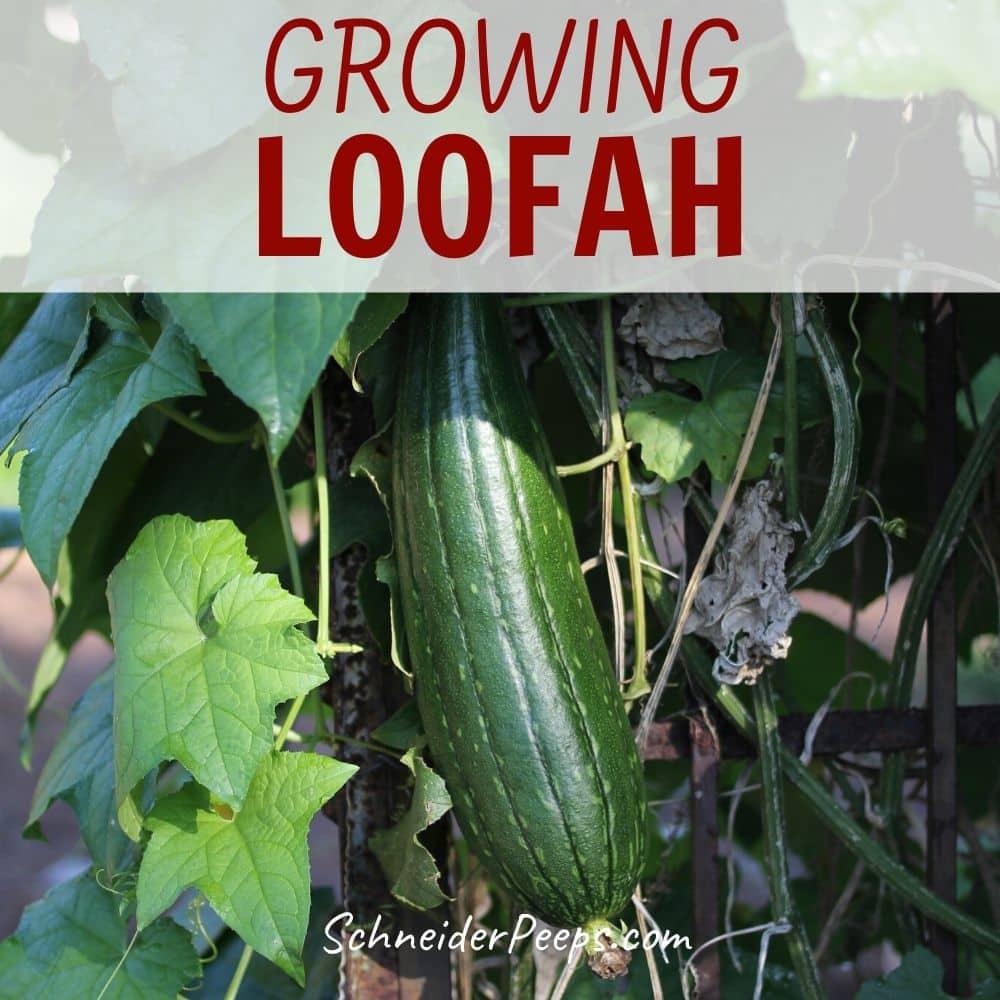 image of green luffa growing on vine