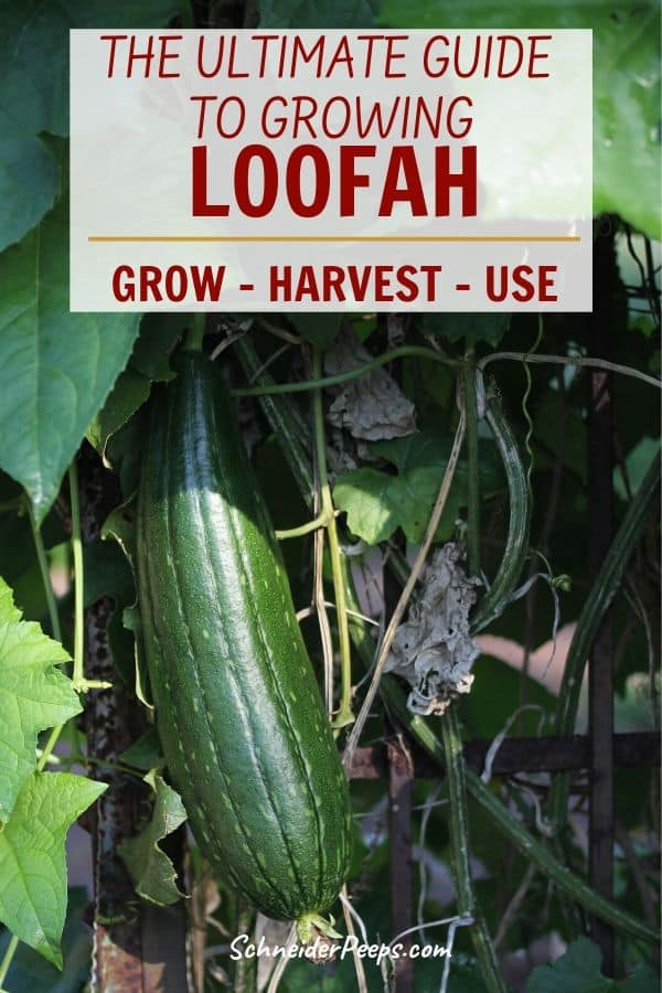 image of green loofah growing on vine