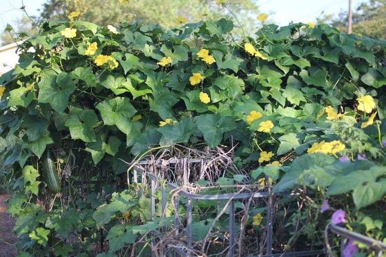 image of loofah vines on cages