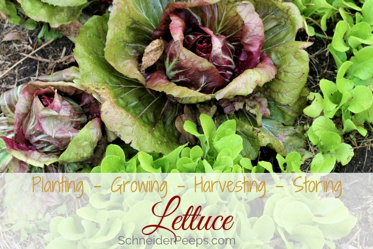 image of red leaf lettuce growing with romaine lettuce