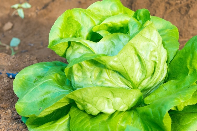 image of head lettuce growing