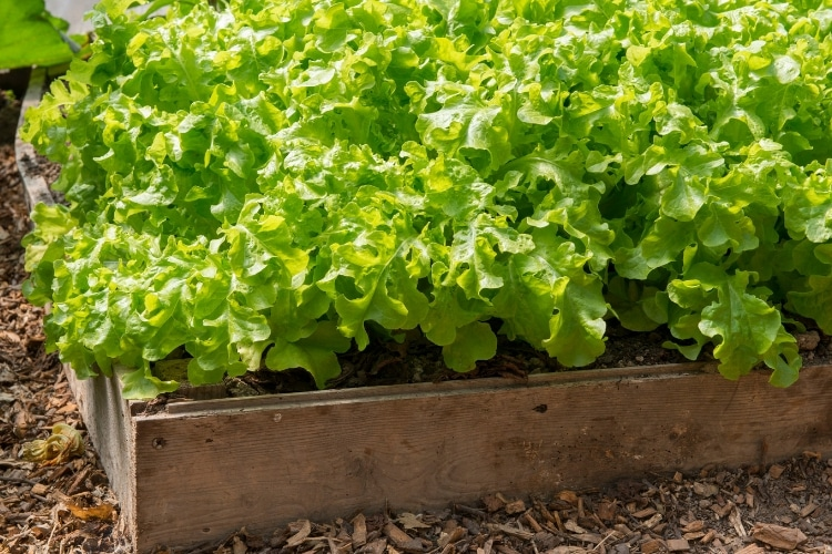 image of wooden garden bed with leaf lettuce growing in it