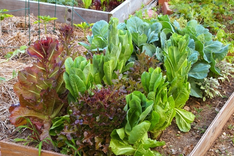 image of romaine lettuce and red leaf lettuce growing in raised bed