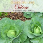 Growing and Using Cabbage