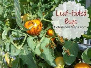 SchneiderPeeps - Leaf-footed bugs