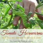 In the garden…tomato hornworms or tobacco hornworms