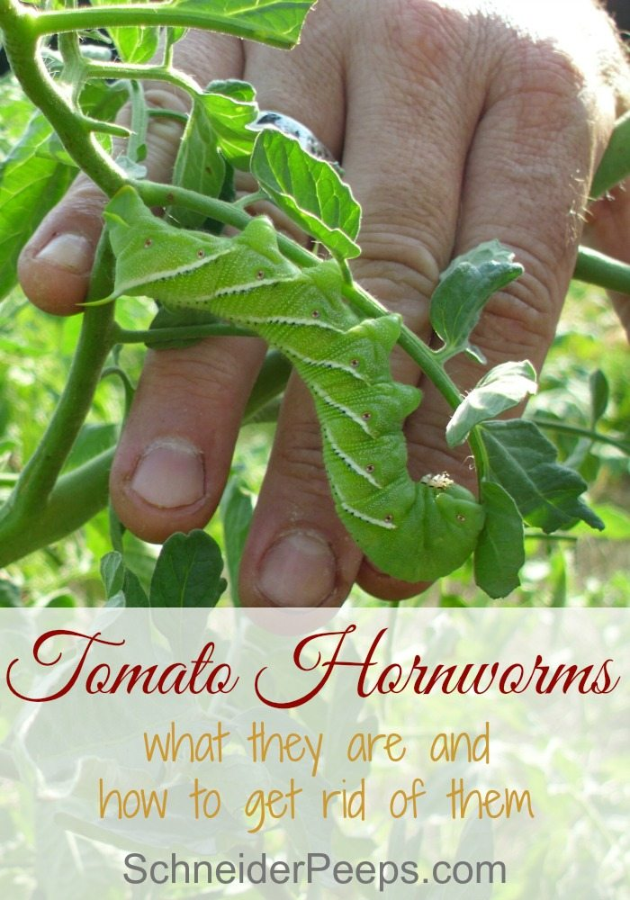 The tomato hornworm can completely destroy a tomato plant overnight. Learn what to look for and how to get rid of them with organic gardening techniques.