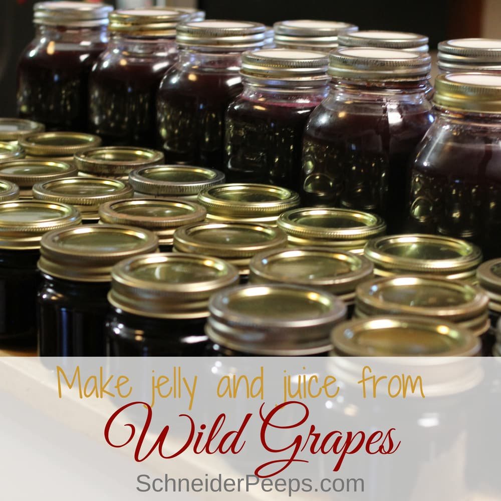 Making mustang grape jelly and mustang grape juice is a tasty and frugal way to preserve wild grapes. The process can be used to preserve any grapes.