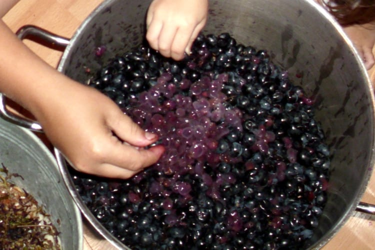image of washing mustang grapes to make jelly