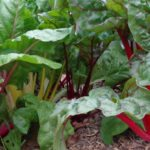 In the garden….swiss chard