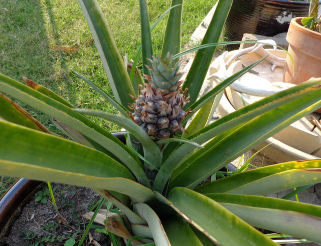 In the garden growing pineapples schneiderpeeps for How to plant a pineapple top in a pot