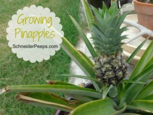 SchneiderPeeps: Growing Pinapples