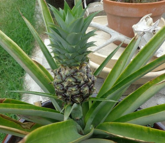 Growing Pinapples feature