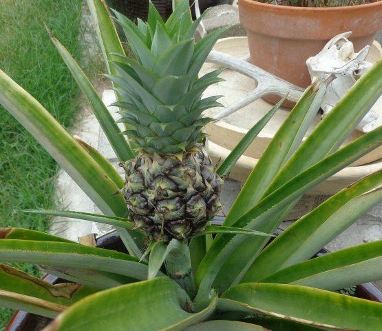 In the Garden….growing pineapples