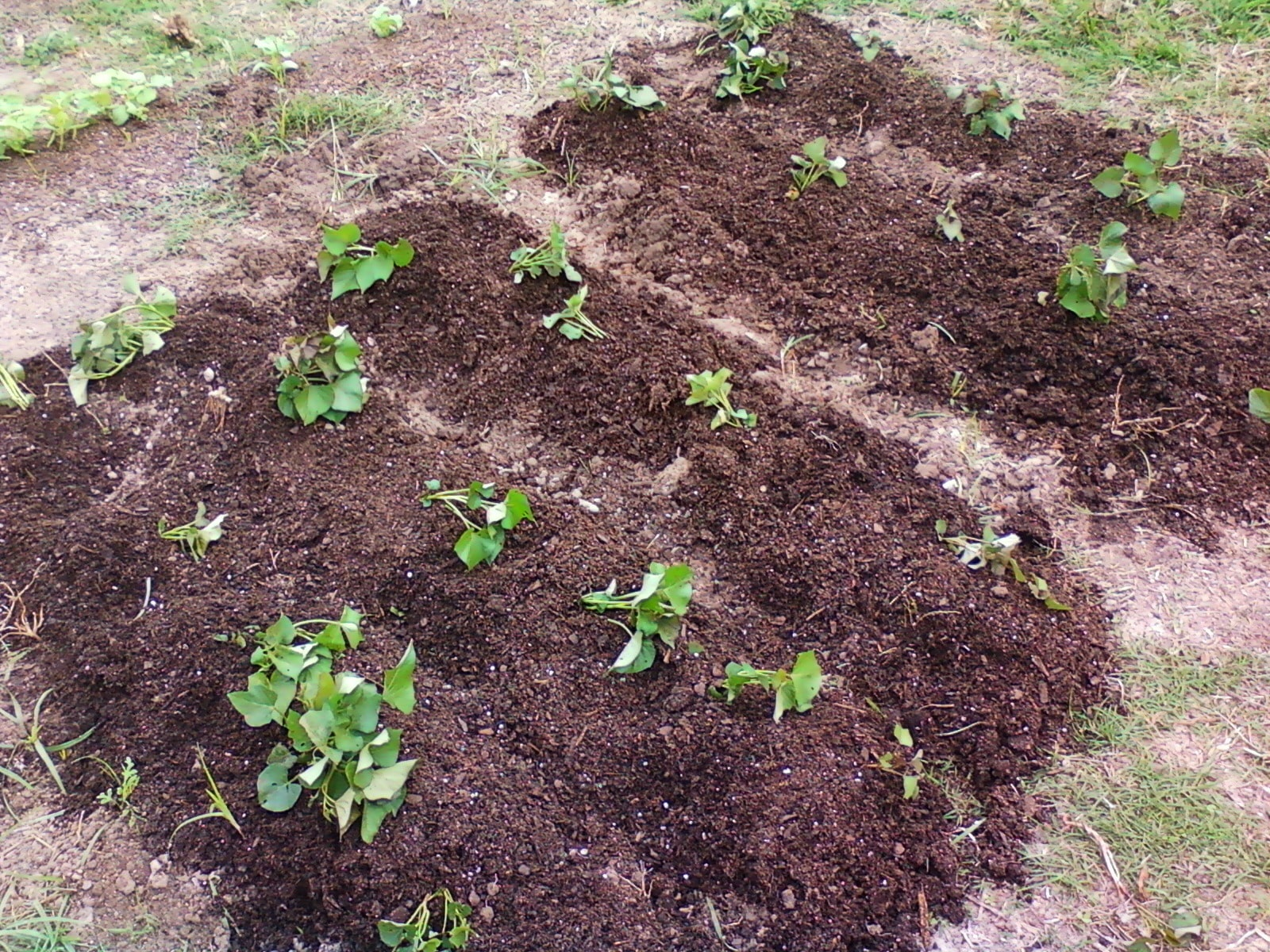 SchneiderPeeps - Growing Sweet Potatoes are really easy if you have at least 100 frost free days.