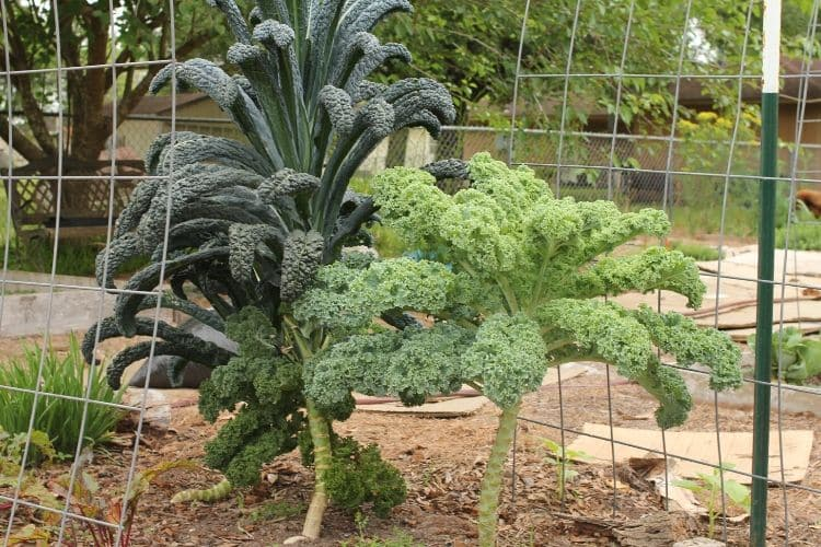 image of mature dinosaur (lacinato) kale and curly kale growing together