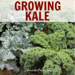 image of curly kale growing in garden