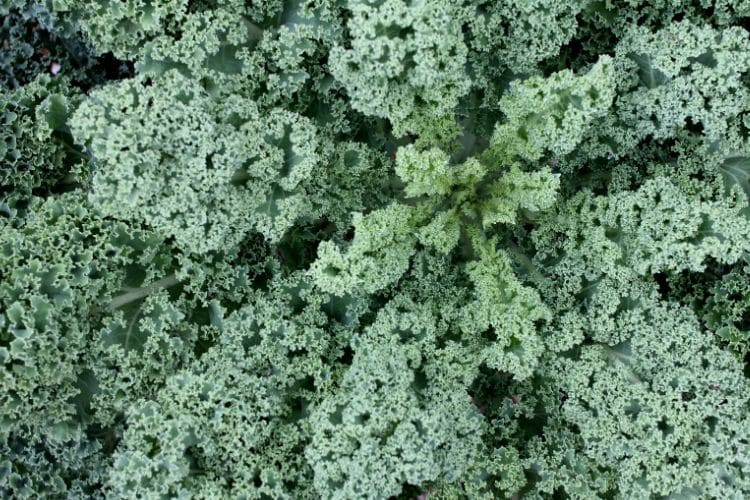 image of curly kale