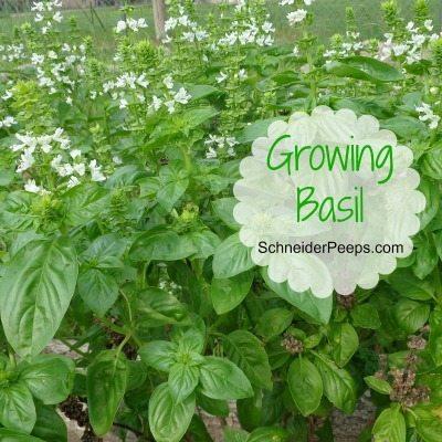 In the Garden…growing basil