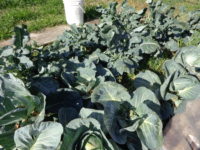 cabbage and broccoli bed