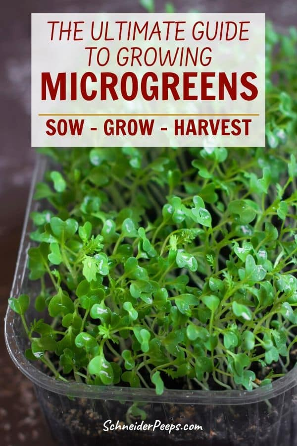 image of microgreens growing in clear container on wooden table