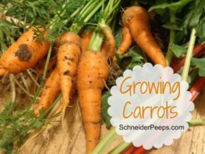 SchneiderPeeps: Growing Carrots